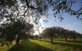 Olio italiano: primato a rischio