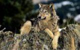 Per il lupo