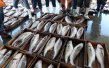 Pesca del merluzzo bianco del Baltico occidentale: approvata dall'UE la posizione negoziale