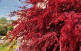 Piante a foglie rosse: esempio di resistenza e resilienza