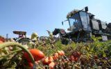 Pomodoro da industria: al via le sperimentazioni