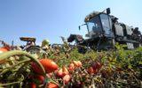 Pomodoro da industria: raggiunto accordo per il bacino del centro sud