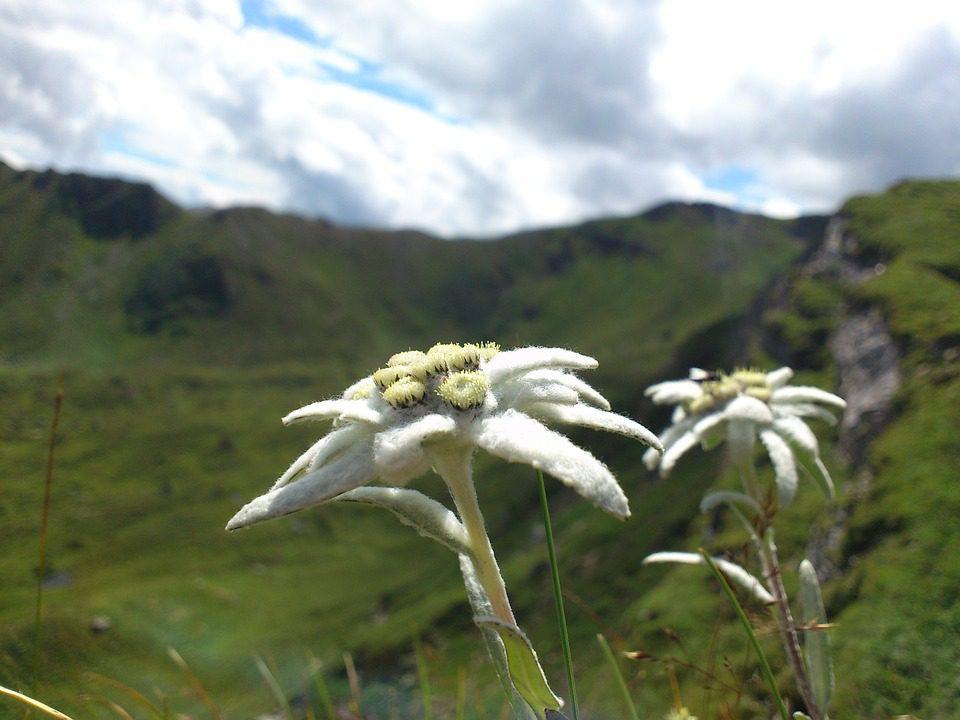 Riscaldamento climatico: a rischio i fiori alpini