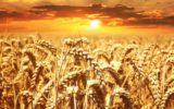 Sale il valore del grano duro italiano