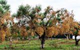 Salute delle piante: L'UE per impedire la diffusione della Xylella fastidiosa