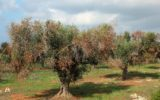 Scienziati italiani accusati di diffondere l'Ebola degli 'olivi'