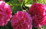 """""""Sciroppo di Rose"""": La nuova frontiera del gusto biologico arriva dalla Toscana"""