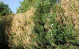 Scoperta un'altra cultivar di olivo resistente alla Xylella
