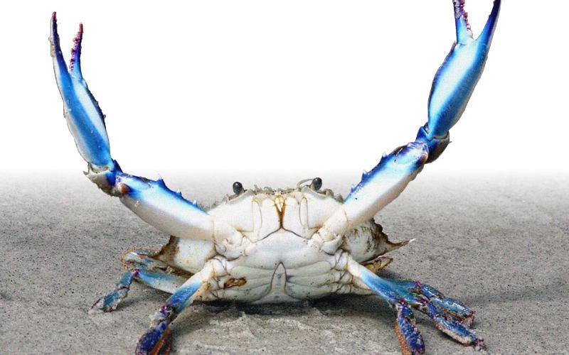 Specie aliene del mare: il Granchio Blu