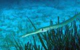 Specie aliene del mare: il pesce flauto