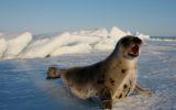Stop alla vendita di prodotti derivati dalle foche