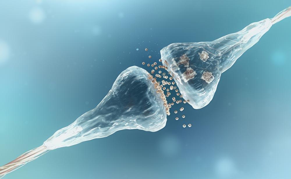 Sviluppo delle sinapsi: scoperto nuovo meccanismo