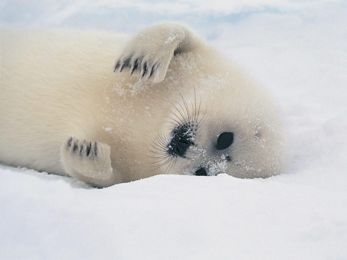 U.E: vietato commerciare prodotti di foca