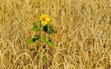 Un campo di grano su cinque scomparsi in un decennio