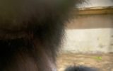 Un cucciolo di Siamango è nato allo Zoo di Napoli