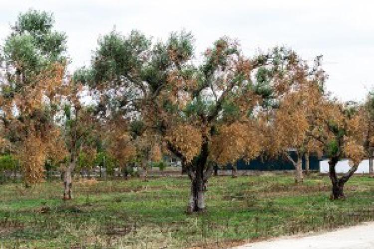 Un dispositivo per la diagnostica di Xylella fastidiosa