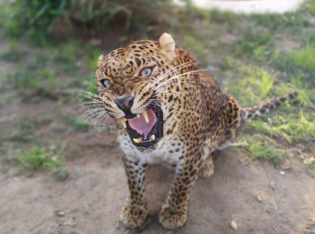 Un leopardo per Napoli