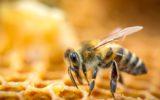 Un vaccino naturale usato dalle api