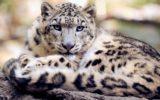 Una app per salvare il leopardo delle nevi