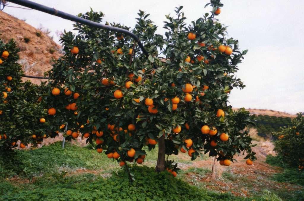 Una pianta di arance su tre scompare