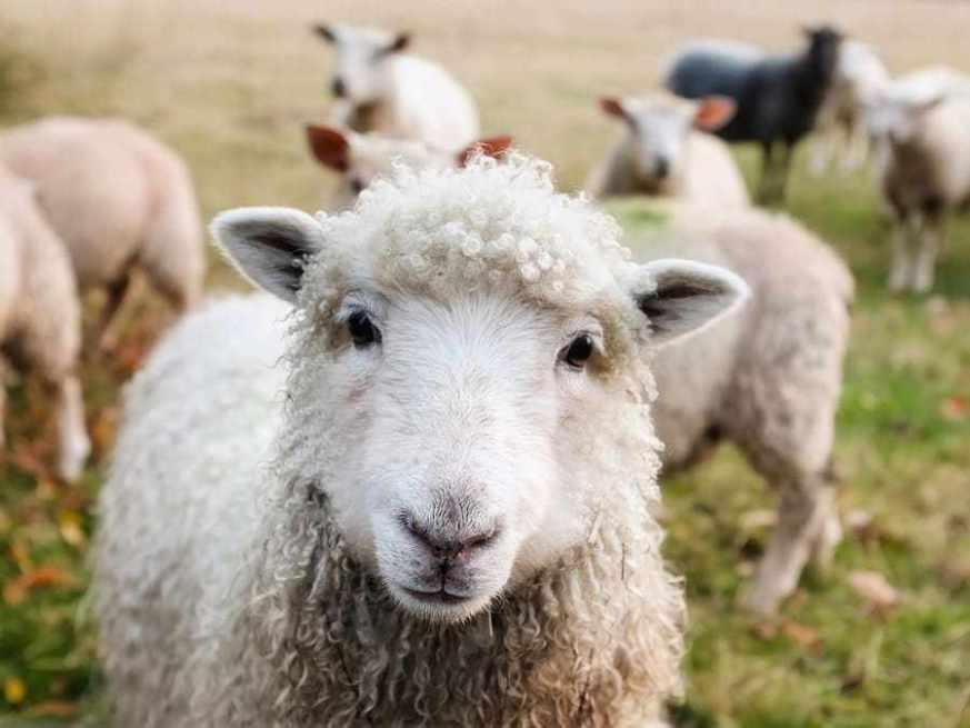 Unesco: al via la transumanza senza un milione di pecore