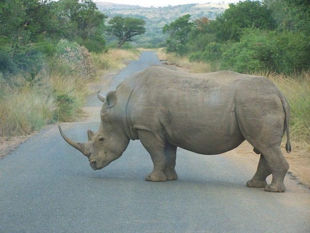 WWF: Segnali di speranza per il rinoceronte in Sud Africa