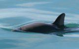WWF: ultima chiamata per la Vaquita