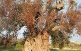 Xylella: 100mila piante resistenti donate da Unaprol