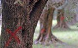 Xylella fastidiosa: una soluzione dal Canada