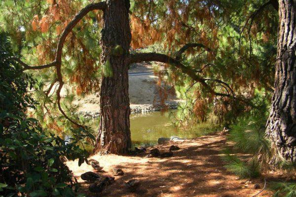 Xylella fastidisiosa: migliaia di alberi nella città di Los Angeles sono a rischio