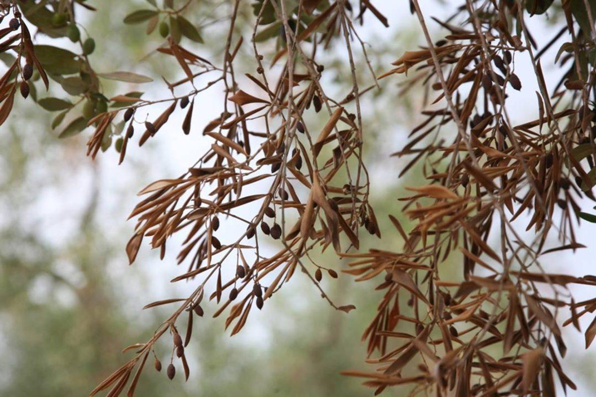 Xylella: ora definire gli obiettivi e rilanciare olivicoltura