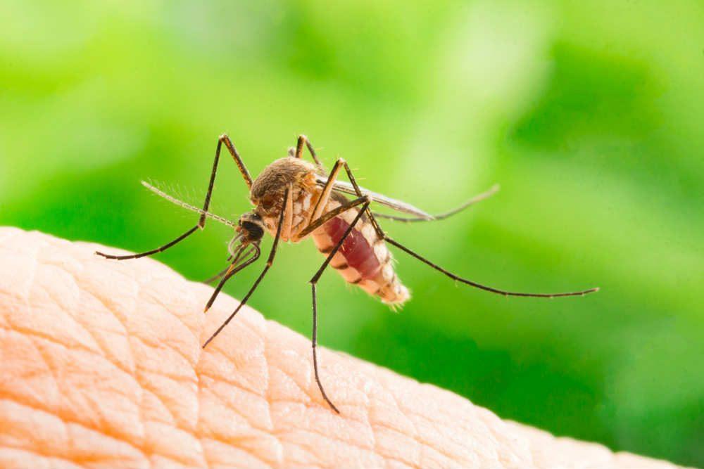 Zanzara tigre: lotta alle malattie virali trasmesse dal fastidioso insetto