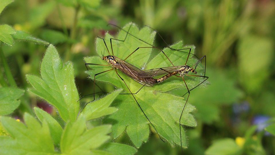 Zanzare asiatiche in Italia