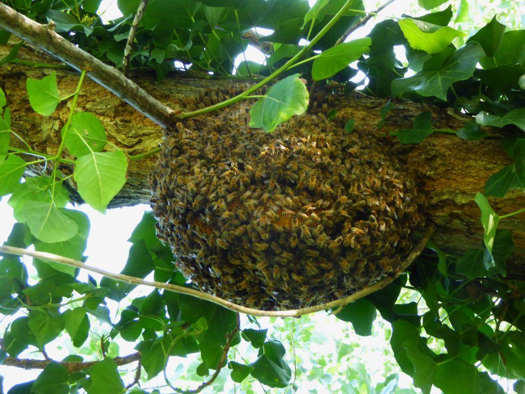 Api da miele selvatiche, FEM lancia l'app europea per il loro censimento