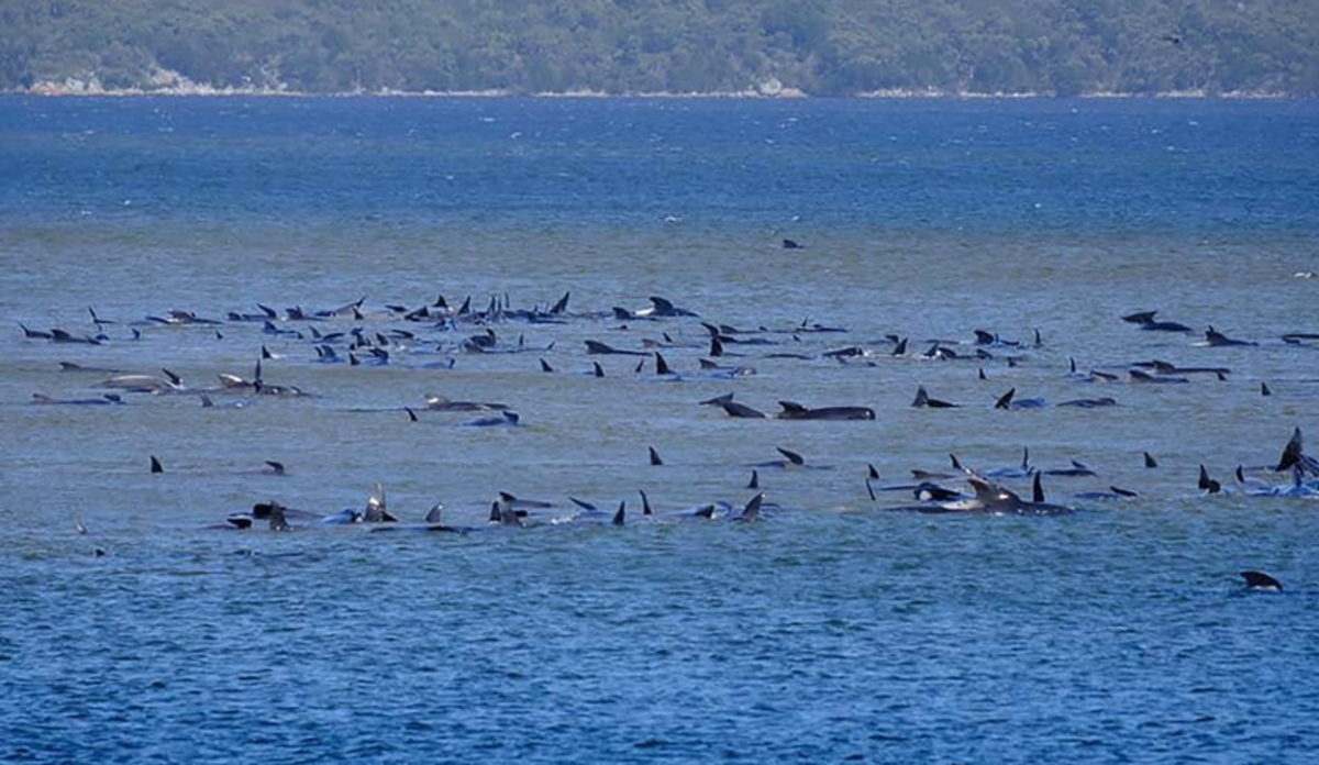 70 balene spiaggiate tasmania