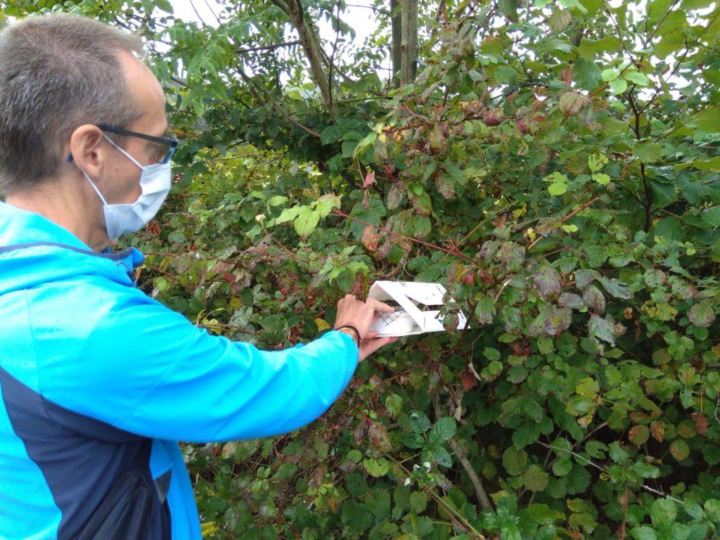 La Drosophila Suzukii e l'azione del Ganaspis nella lotta biologica