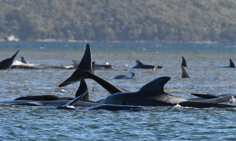 Tasmania, non 70 ma ben 500 le balene spiaggiate ma in molte già morte
