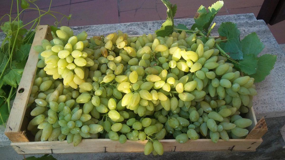 A Tivoli un nuovo Presidio Slow Food: l'uva Pizzutello