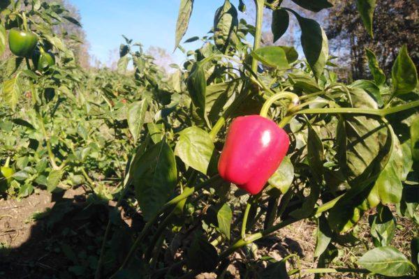 Peperoncino tri pizzi: la new entry sull'Arca del Gusto