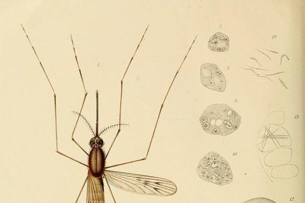 Le zanzare modificate contro la pandemia