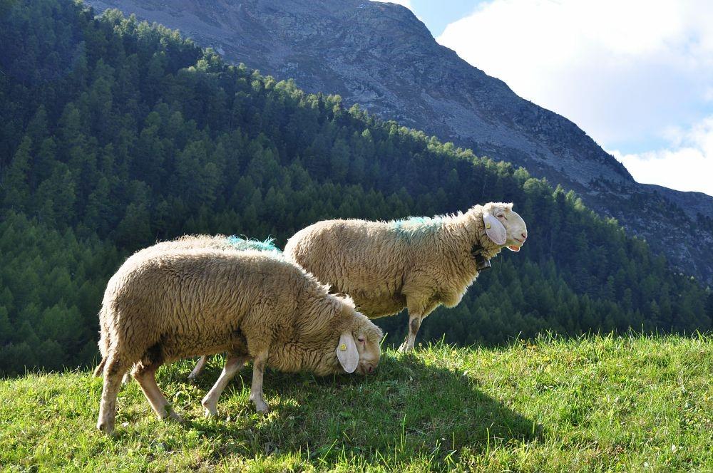 Pecora della Val Senales, nuovo Presidio Slow Food