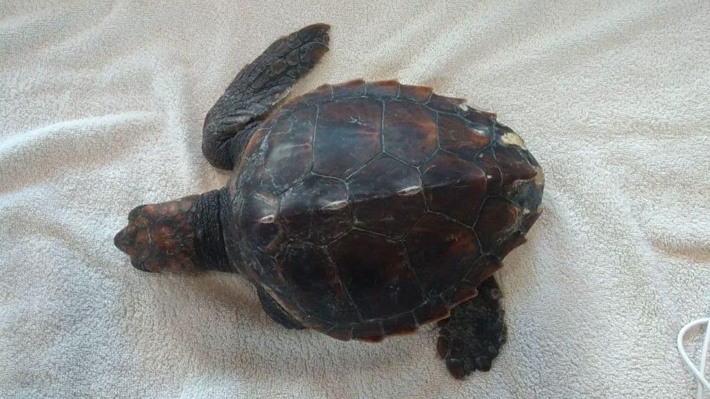 """Turtle Point della Stazione Dohrn a Portici: è stata salvata """"Cannella"""""""