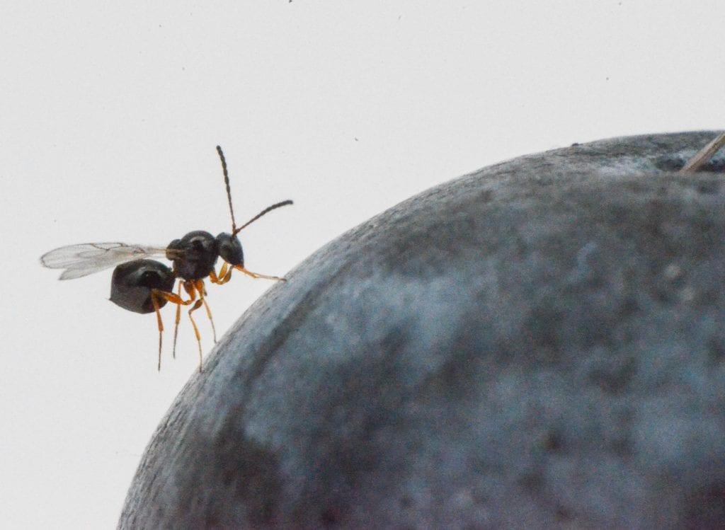Drosophila suzukii: pronta una nuova arma