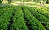 Il sedano di Gesualdo, ad Avellino, è un nuovo Presidio Slow Food