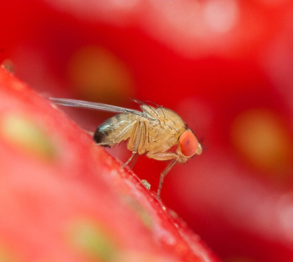 Ganaspis contro Drosophila suzukii, via libera del Ministero