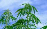 adottato testo legge cannabis