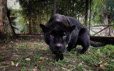 Allo Zoo di Napoli è arrivata una coppia di giaguari