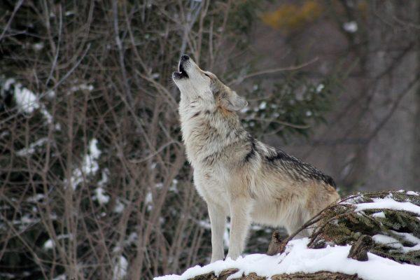 lupi boschi convivenza caccia