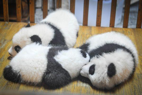 nuove nascite panda giganti